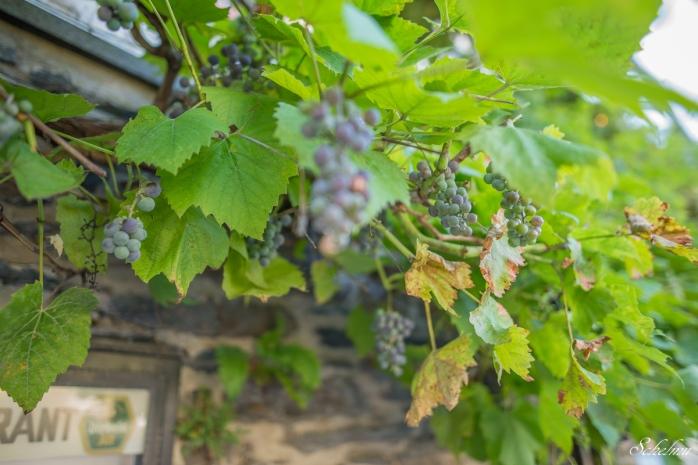 Wein Cochem an der Mosel Weintrauben